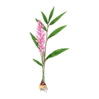 Aquarel gemberplant