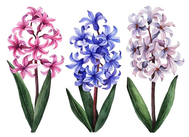 Aquarel hyacint set, handgeschilderde bloemen illustratie, mooie bloemen geïsoleerd op een witte