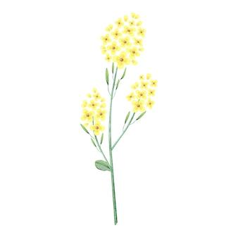 Aquarel illustratie van kruid met goudgele bloemen.