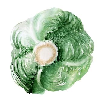Aquarel illustratie van witte kool. hoofden en bladeren
