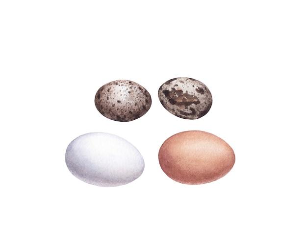 Aquarel kippeneieren en kwarteleitjes op witte ondergrond