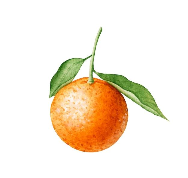 Aquarel mandarijn met bladeren op witte achtergrond.