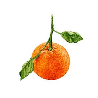 Aquarel mandarijn met groene bladeren op witte achtergrond.