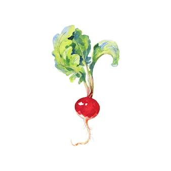Aquarel radijs met toppen. schilderend wortelgewas geïsoleerde hand getrokken plantaardige illustratie