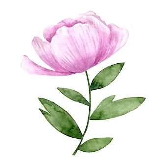 Aquarel roze pioen bloem met groene bladeren geïsoleerd op een witte achtergrond