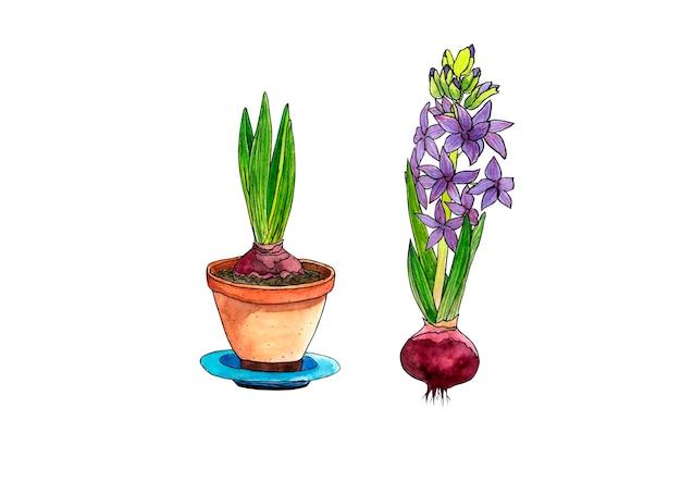 Aquarel voorjaar hyacint in een pot en hyacint bol