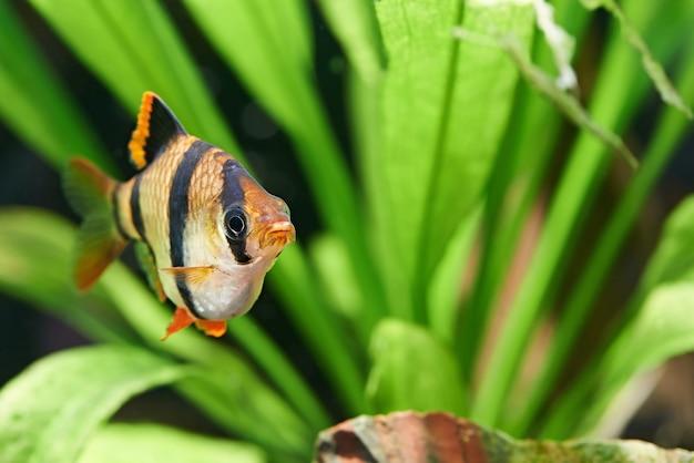 Aquariumvissen - barbus puntius tetrazona in aquarium