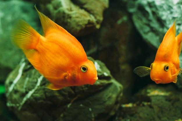 Aquariumvissen - goudvissen