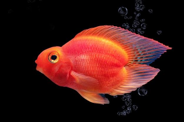 Aquariumvissen rode die papegaai op zwarte achtergrond wordt geïsoleerd