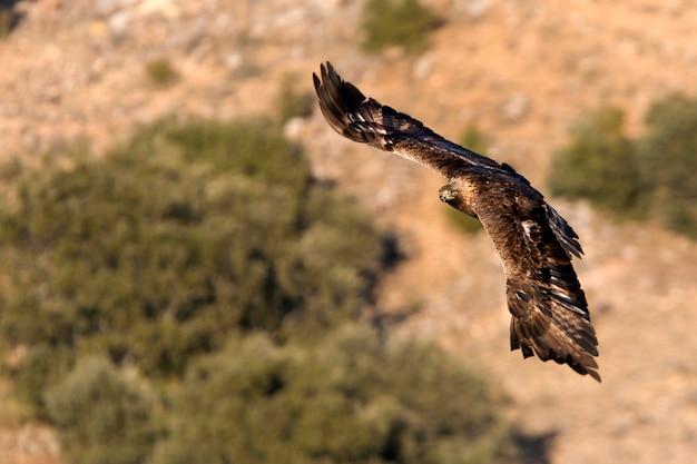 Aquila chrysaetos. gouden arend