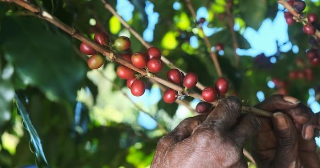 Arabica-koffie wordt handmatig geplukt door vrouwelijke landbouwershanden. braziliaanse speciale koffie