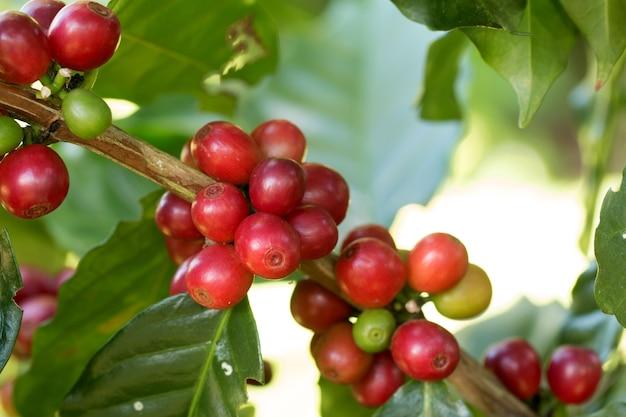 Arabica koffiebessen die op een boom rijpen