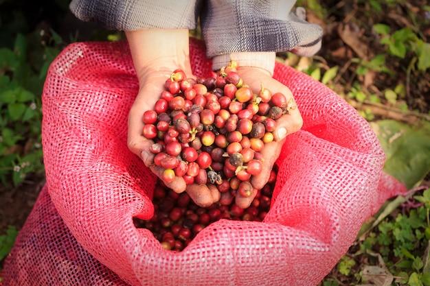 Arabica koffiebessen met agronoom handen
