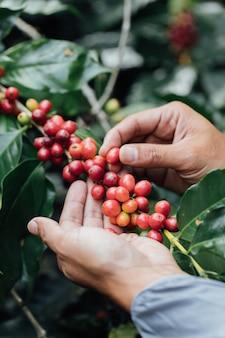Arabica-koffiebessen met landbouwershandenrobusta en arabica-koffiebessen