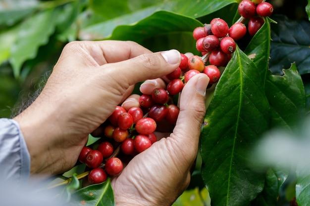 Arabica koffiebessen met landbouwkundige handenrobusta en arabica koffiebessen