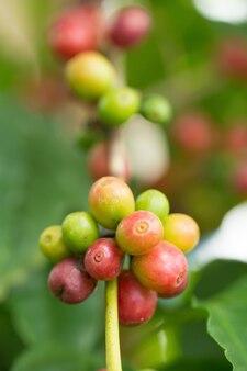 Arabica koffiebonen die op boom in het noorden van thailand rijpen