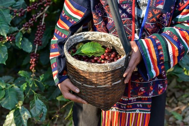 Arabica-koffiebonen worden verpakt in een mand met boeren die worden geteeld in de noordelijke hooglanden van chiang mai in thailand.