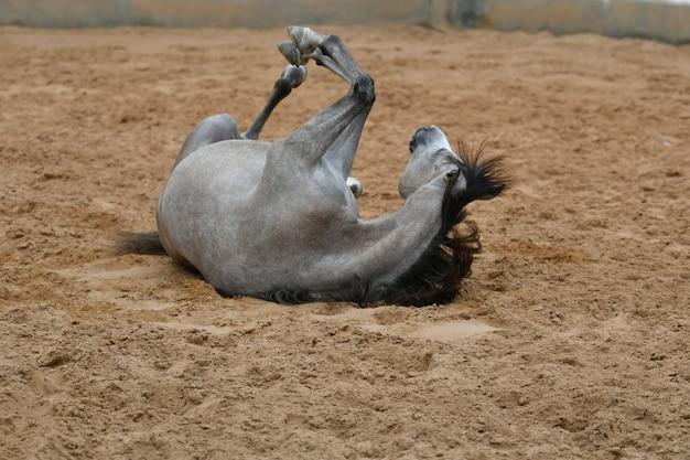 Arabisch paard is een paardenras dat zijn oorsprong vindt op het arabische schiereiland