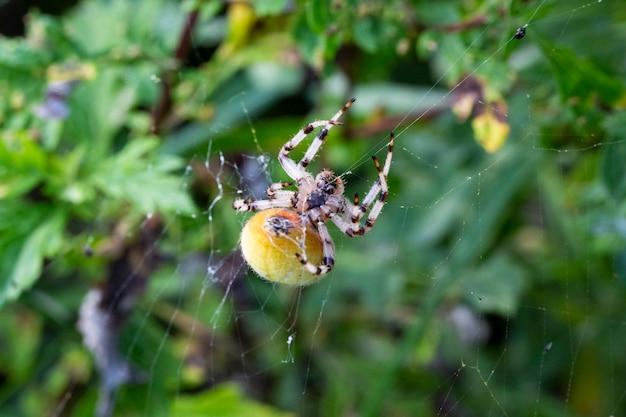 Araneus-spinvrouwtje in het web, een enorme vrouwelijke araneus-spin is geel op het web