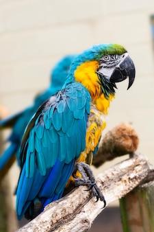 Arapapegaai op takken, blauwe gele kleurrijke papegaaien in de dierentuin.