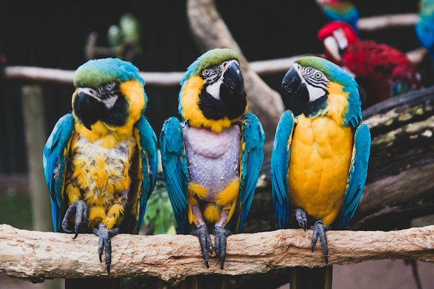 Arapapegaaien op takken, blauwe gele kleurrijke papegaaien in de dierentuin.