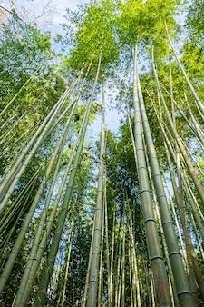 Arashiyama bamboo grove of sagano bamboo forest, is een natuurlijk bamboebos in arashiyama, bezienswaardigheid en populair voor toeristenattracties in kyoto. japan