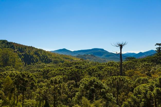 Araucaria-boombos onder een blauwe hemel in minas gerais, monte verde.
