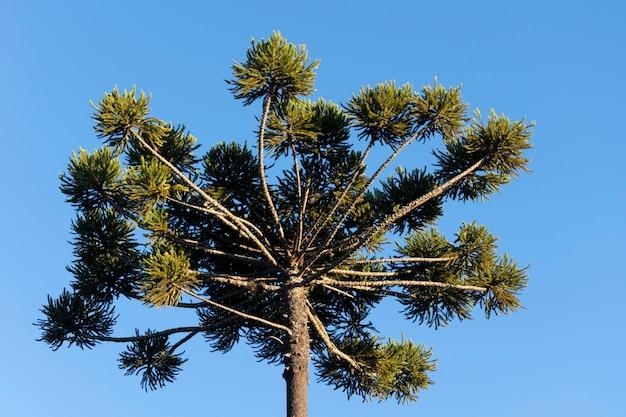 Araucaria boomkruin en blauwe lucht