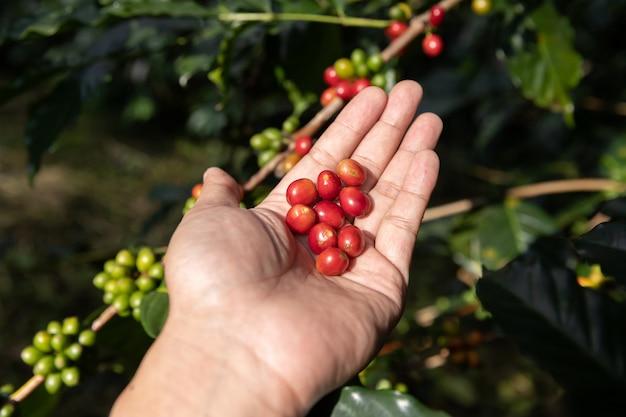 Arbeideroogst arabica coffee bean