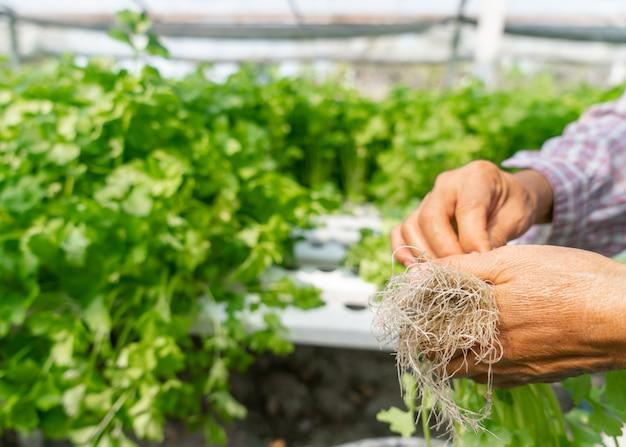 Arbeiders die organische groenten met de hand plukken