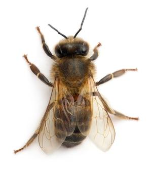 Arbeidersbij - anthophora plumipes, wijfje, op wit wordt geïsoleerd dat