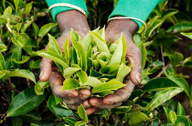 Arbeidershanden die groene theebladen hoogste mening houden