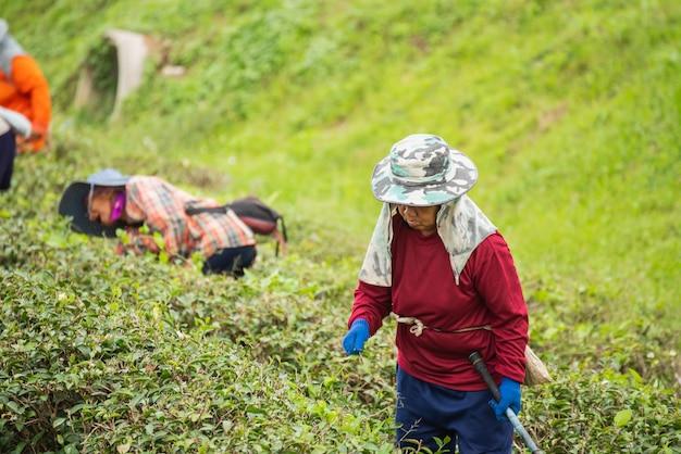 Arbeidersvrouw die groen theeblad plukken bij het theelandbouwbedrijf