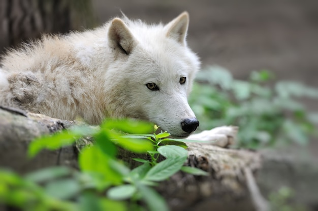 Arctic wolf (canis lupus arctos) ook bekend als polar wolf