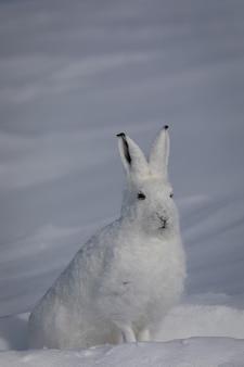 Arctische haas die in de verte staart met de oren omhoog, gevonden in de besneeuwde toendra