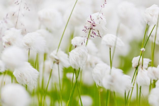 Arctische katoenen bloemen. verbazingwekkende natuurlijke achtergrond.
