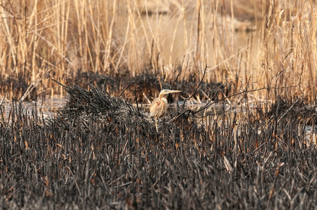 Ardea purpurea purperreiger. verbrande riet natuur achtergrond.