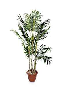Areca palm geïsoleerd op de witte achtergrond