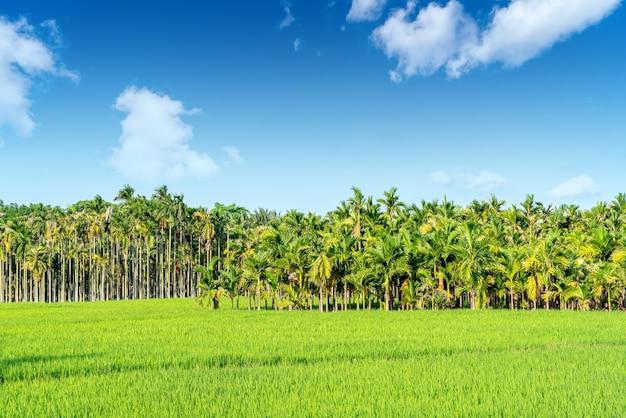 Areca-palm of areca-notenboom staat bekend als areca-nootpalm, betelpalm, betelnootpalm tegen de blauwe lucht.