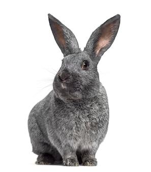 Argente konijn geconfronteerd met geïsoleerd op wit