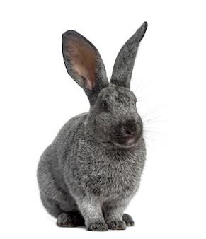 Argente konijn zitten, geïsoleerd op een witte ondergrond