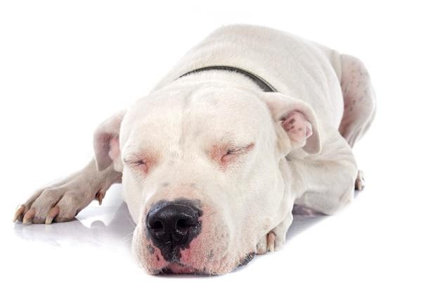 Argentijnse hond