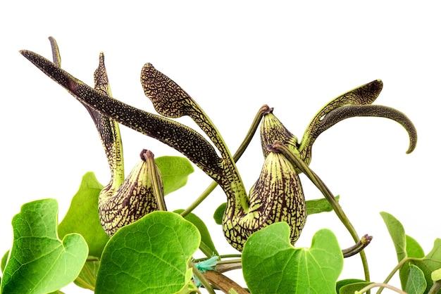 Aristolochia ringens bloemen en groene bladeren geïsoleerd op wit.