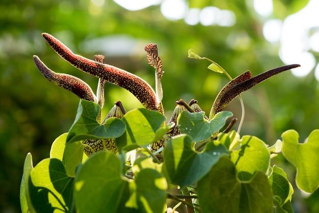 Aristolochia ringens bloemen en groene bladeren op de natuur.