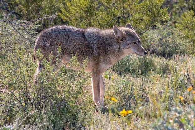 Arizona coyote wandelen door de woestijn in het voorjaar