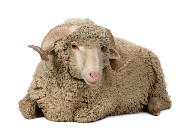 Arles merino schapen, ram, zittend