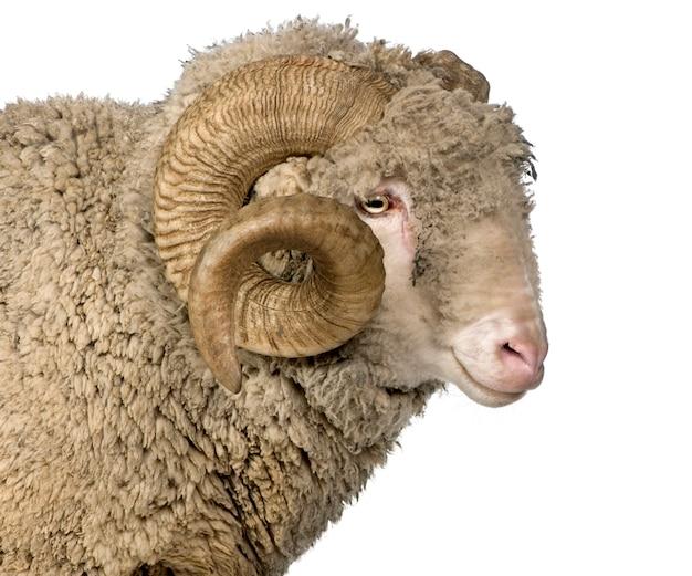 Arles merino schapen, ram,
