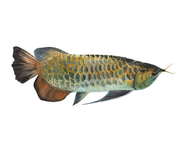 Arowana fish aquarel schilderij geïsoleerd