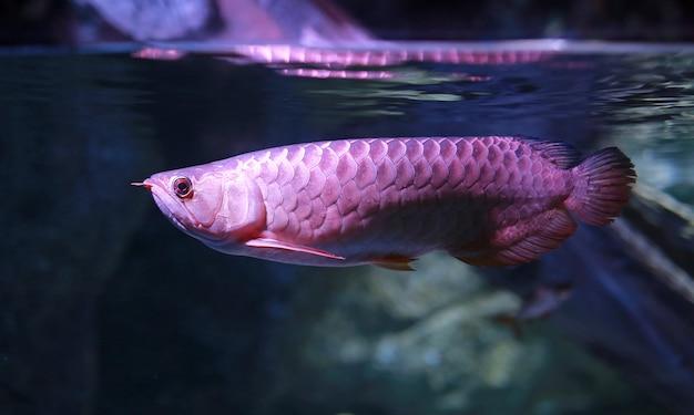 Arowana vissen die in water bij aquarium zwemmen.