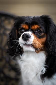 Arrogant de hondportret van de king charles spaniel met nieuwsgierige blik en blured achtergrond